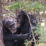 Flora holds her baby, Valentina Rose, who was born on Valentine's Day at Chimp Haven.