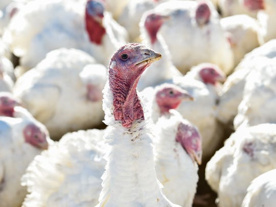 T.A. Farms in Wyoming is a fifth-generation turkey