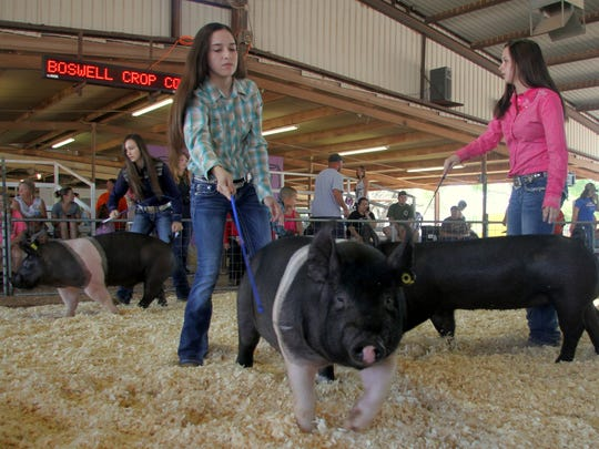 Girls work to keep control of their pigs during the