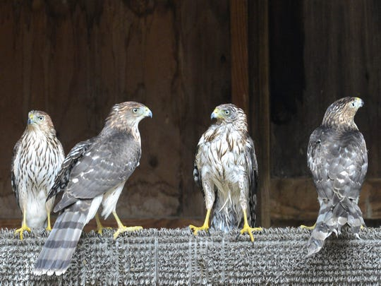 Four Cooper's hawks perch together on a beam in their flight cage at Back to the Wild on Wednesday. The four birds will be released soon.