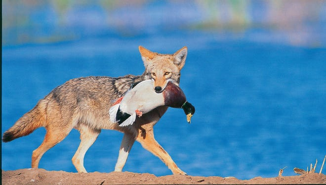 This 2003 photo shows a coyote in Brandon, Miss. with a mallard drake in its jaws.
