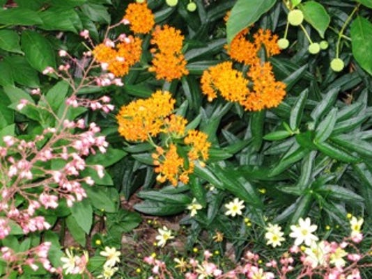 Butterfly-weed-photo.jpeg