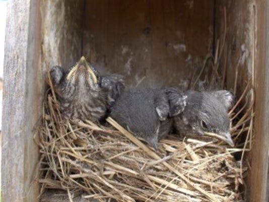 635923477977400374-FON-0301-bluebird-nest.jpg