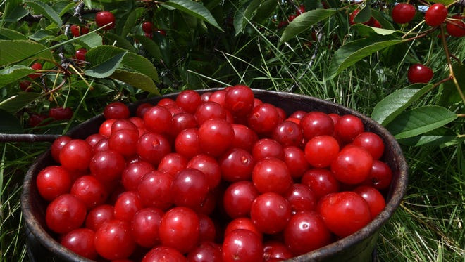 The tart cherry season has begun in southern Door County and is expected to ripened its way to the top of the peninsula in the upcoming days.