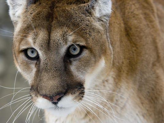 Puma or Mountain lion, Pumaa concolor