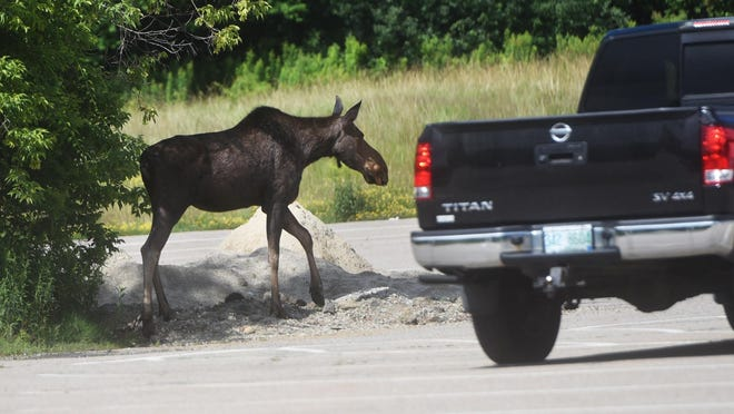 A moose was sighted in the Rutland Street neighborhood in Dover Monday morning.