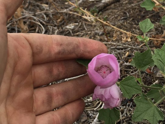 Baker's globe mallow arises from the ash of a recent