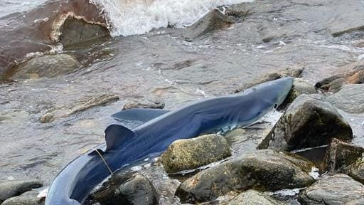 This shark was rescued after becoming stranded in Little Compton.