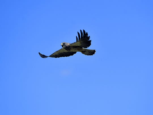 A pair of Swainson's hawks have made their annual summer