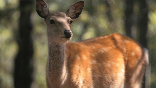 Female Hokkaido sika deer in forest