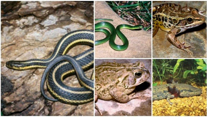 Images of the mudpuppy, Fowler's toad, pickerel frog,