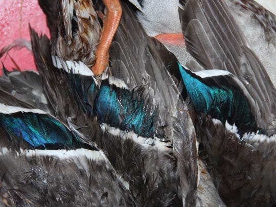 The iridescent wing feathers of mallard ducks are displayed on birds taken by hunters near Grantsburg on opening day of the 2017 Wisconsin north zone duck season.