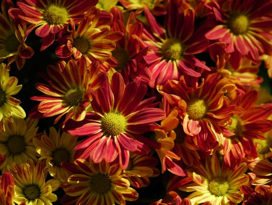 Chrysanthemums grow best in full sun and add brilliant