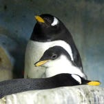 Milwaukee County Zoo penguins step on the scale after holidays, just like humans