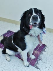 Brittany is a 2-year-old border collie mix, near as