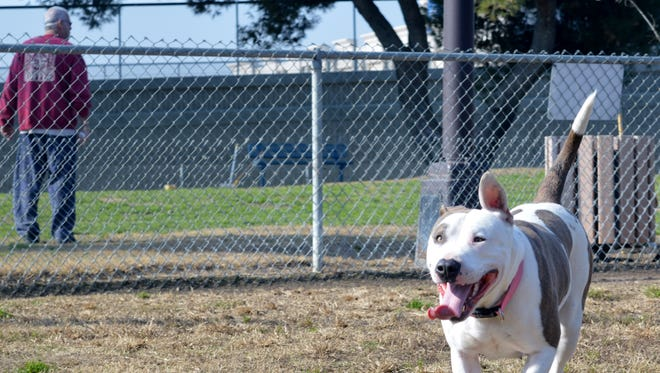 Mia, a Pitbull Terrier mix enjoyed running around Plaza Park's dog park, Tuesday afternoon.