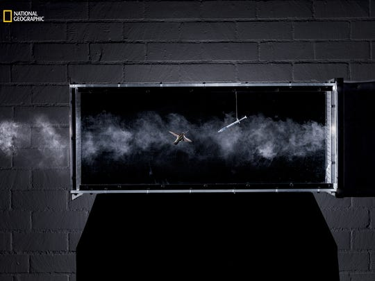 Letting hummingbirds loose in wind tunnels allows researchers