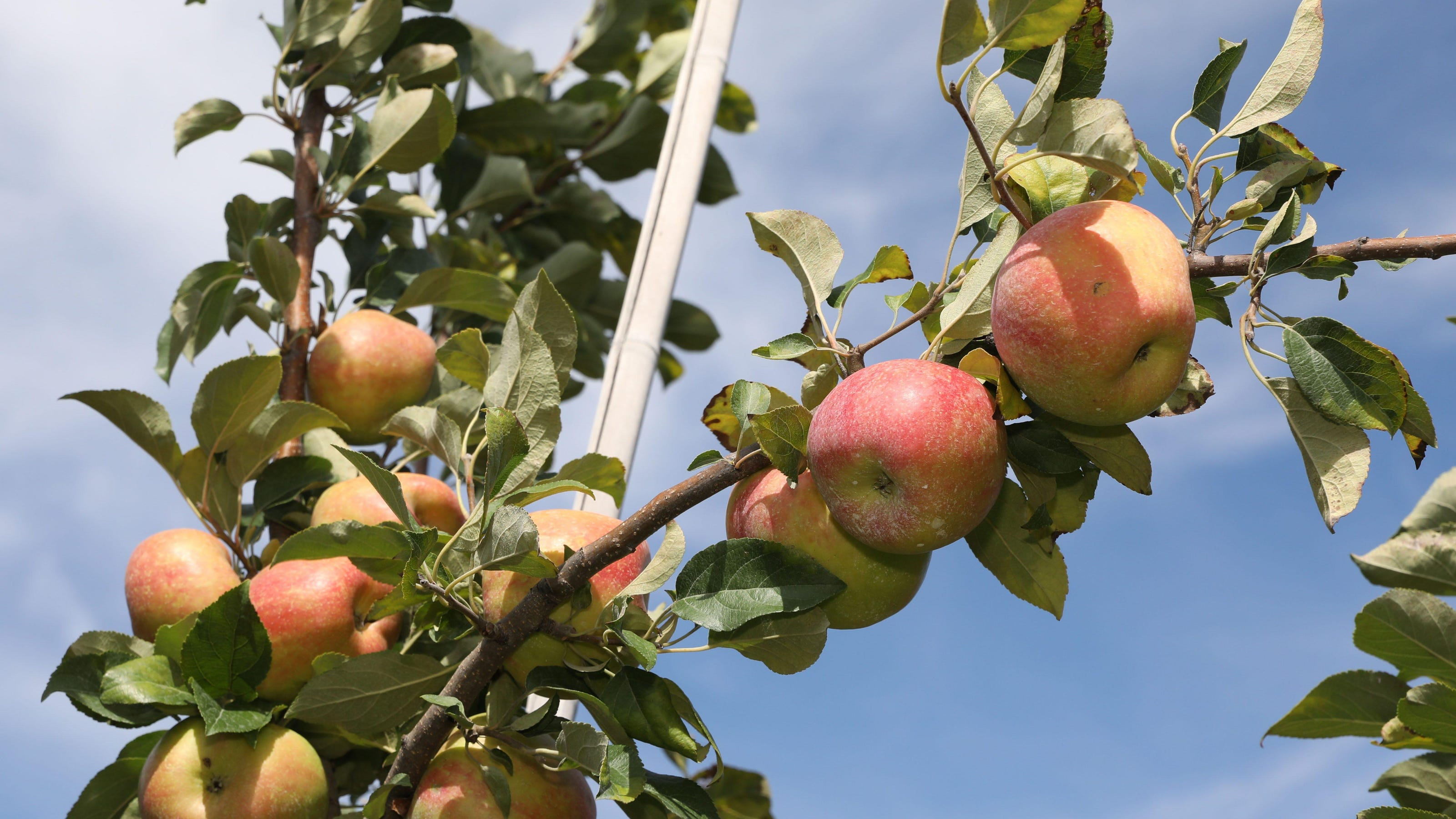Apple Picking Won T Be The Same This Year Ny Farms Make Adjustments For A Covid World