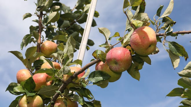 Apples ripening on a tree at Fishkill Farms August 26, 2020.