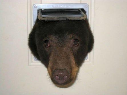 & Black bear tries to get into condo through cat door