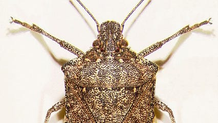 Marmorated stink bugs like this one are being spotted frequently around the valley.
