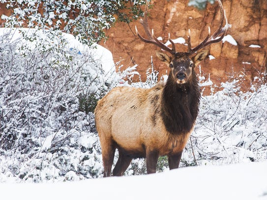 An elk takes a break from foraging in a neighborhood in Payson, Monday, Dec. 14, 2015.