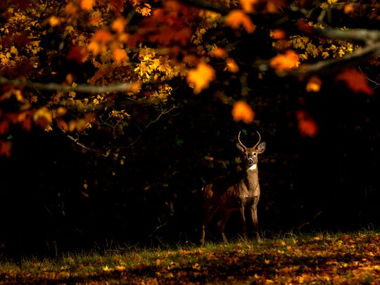 A buck deer stops in the sunlight underneath a colorful
