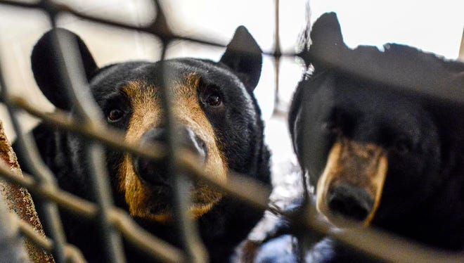 Black bears Ursa, left, and Uno rest in an enclosure to prepare for hibernation at the WNC Nature Center.