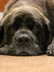 Seven-year-old English mastiff, Sophie, waits to receive her chemotherapy treatment for lymphoma at Arizona Veterinary Oncology in Scottsdale. She's been receiving treatment since February 2016.