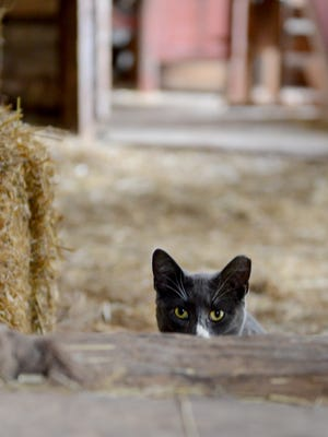 Mice beware. Alphonse is on duty in the barn at the Belgian Farm at Heritage Hill State Historical Park.