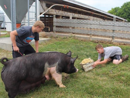 Carson Klingel and Dylan Jordan lead a hog for feeding