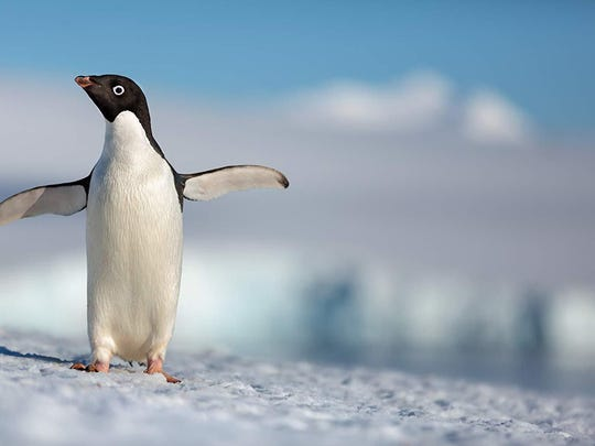 "Using Dragon 6k digital cameras, the directors of ""Penguins"" tricked up what they call a ""penguin cam"" that's able to track alongside star penguin Steve as he's on the move."