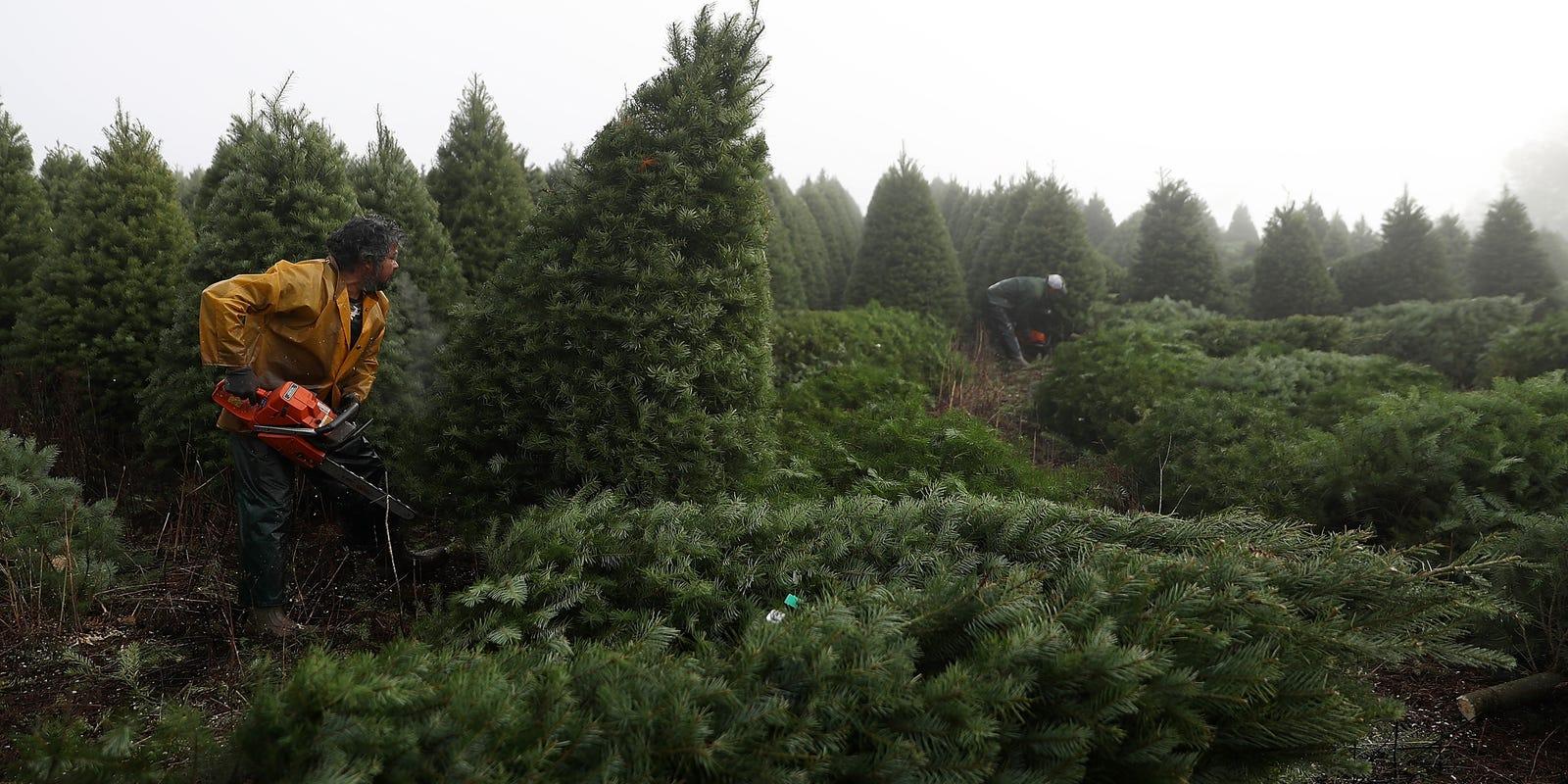christmas tree in shorter supply pricier - Christmas Tree Farm Asheville Nc