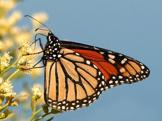 The Monarch Butterfly Festival takes place Saturday at St. Marks National Wildlife Refuge.