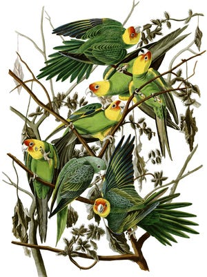 In the 1820 and 1830s, John James Audubon illustrated the Carolina parakeet, which is now extinct.