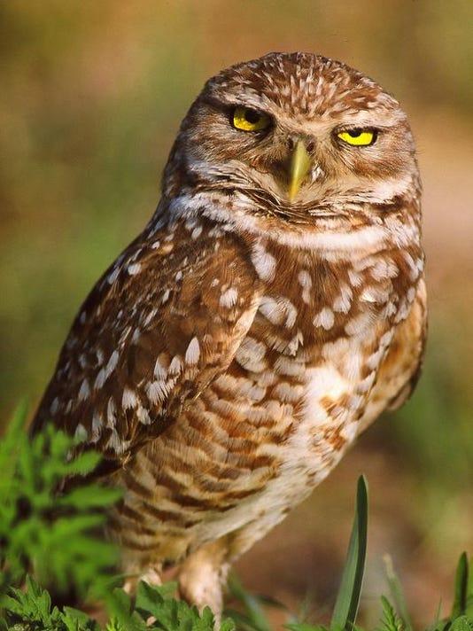 -Dan Tudor burrowing owl.jpg_20090217.jpg