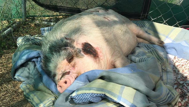 Piggy Wiggy was found at a gas station Wednesday morning and is heading to a rescue and rehab facility in Houston to be treated for her injuries.