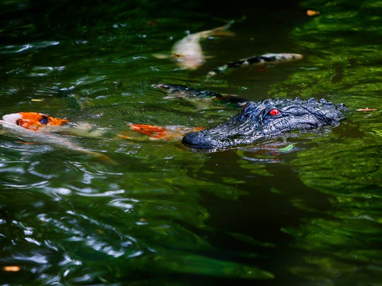 Colorful Japanese koi swim near one of two plastic alligator heads floating on Lake Biwa at the Memphis Botanic Garden Thursday morning. The fake heads are use to scare off the aggressive geese that have aggravated visitors.