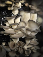 A crop of oyster mushrooms grows in a temperature-