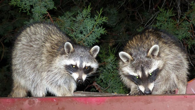 Two raccoons finish up their nightly visit to a bird feeding area in Ruidoso to eat whatever seeds and corn is left.