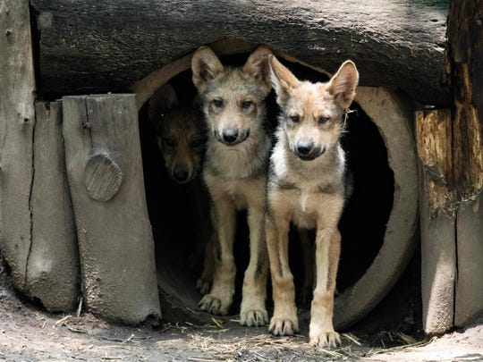 Three-month-old Mexican wolves (Canis lupus baileyi) are seen at the Coyotes Zoo in Mexico City on July 10, 2018. Eight Mexican wolf cubs born in April at the zoo give new hope for this endangered species.