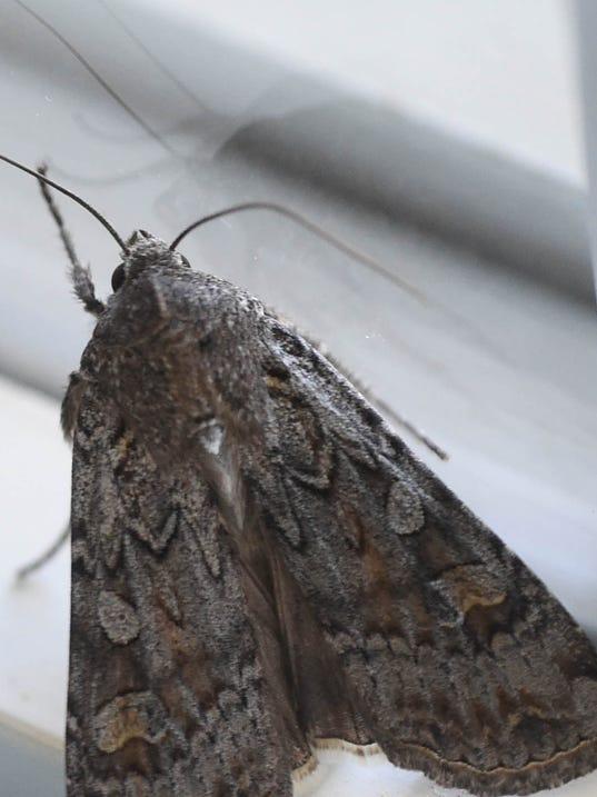 REN0618-MV moths