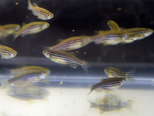 Zebra fish used for research in bacteria immunology