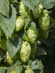 The flowers or cones of the female hop plant contain