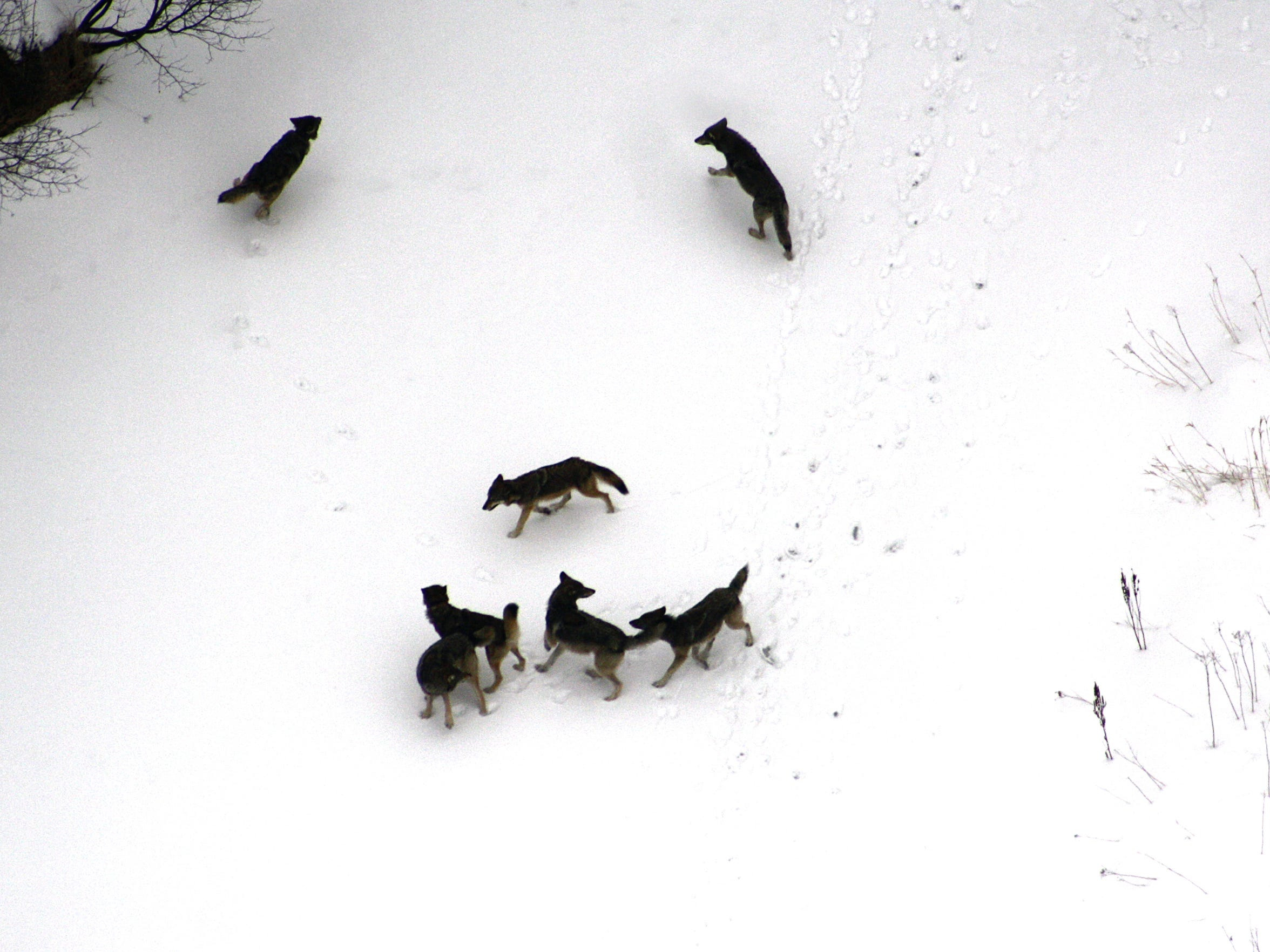 """2012"""": A pack of Great Lakes gray wolves run along"""