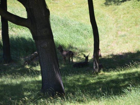 A group of waterbucks in Binder Park Zoo's Wild Africa