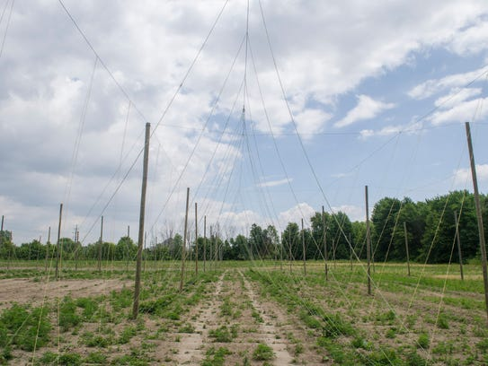 The field of 323 hop plants that are being grown of