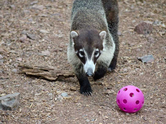 A coati enjoys a treat inside a toy during a 2015 Prowl