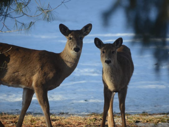 Learn about white-tailed deer at Nankin Mills Interpretive