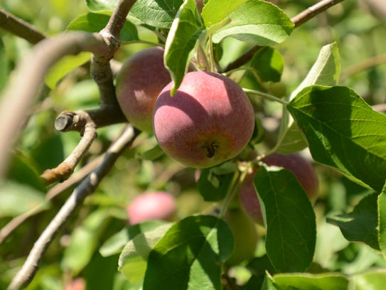 There are about 25 varieties of apples growing at McCullum's